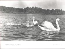 Łabędzia rodzina na jeziorze Ukiel